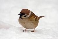 Sparrow on snow