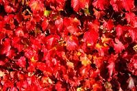 Autumnal vine leaves