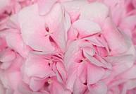 Pink hortensia (hydrangea macrophylla) flowers