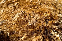 Ready wheat to make flour freshly h