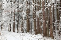 Winter coniferous forest