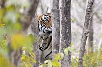 Bengal Tiger (Panthera tigris tigris) stalking from behind a tree, Ranthambhore national park, Rajastan, India.