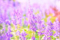 Beautiful flower background with Salvia farinacea Benth.(soft focus)