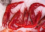 Scarlet shrimps
