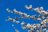 many blossom on the tree
