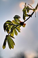 Spring growth on horse chestnut tree.
