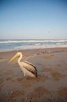 Pelican on the beach or Saint Louis