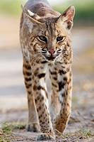 Close up of bobcat walking