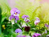 Flowerbed of viola tricolor or kiss-me-quick (heart-ease flowers