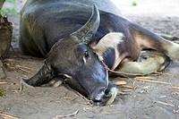 Buffalo sleeping in the shade.