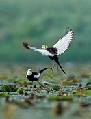 Two Pheasant-tailed Jacanas ( Hydrophasianus chirurgus ) play in a lake in Jiujiang county, Jiangxi province, China on 12th June 2015.