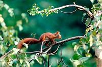 Red Squirrel, Ecureuil roux, Sciurus vulgaris,