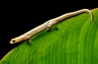Neotropical climbing salamander (Bolitoglossa equatoriana), Family of Lungless Salamanders (Plethodontidae ), Choco rainforest, Ecuador.