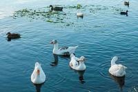 flock of waterbirds on lake surface