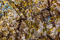 Blooming wild cherry blossoms