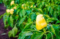 Yellow pepper on a patch in a garden with other peppers and green plants on the backgriund