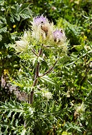 Thistle (Cirsium obvallatum) in flower. Photographed in Turkey.