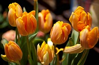 beautiful bouquet of golden colored tulips