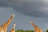 Giraffe (Giraffa camelopardalis) against dark sky.