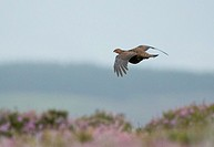 A Red grouse flies away from Grouse counter on day before Glorious 12th.