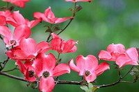 flowering dogwood (Cornus spec.), pink flowering