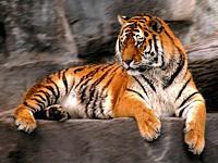 Ein wachsamer Tiger