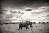 elephant in masai mara national park.