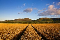 Wheatfield near Clogheen,. Look towards the Knockmealdown Mountains,. Co Tipperary, Ireland.