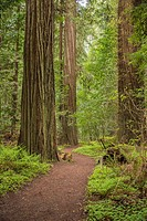 California´s amazing redwoods are found along the Avenue of the Giants.