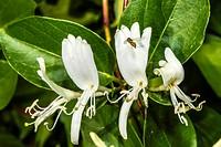 White Honeysuckle (Lonicera japonica) Spring Flowers.