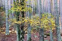 Pinesl in the Canencia Birch. Sierra de la Morcuera. Madrid. Spain. Europe.