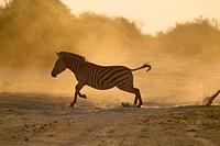 Plain zebra, (Equus quagga), Chobe National Park, Botswana.