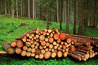 Cut wood in a coniferous forest at the foot of Marmolada. Dolomites. Italy.