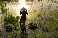 Women tending fields. Hoi An, Vietnam. Vietnam, Quang Nam province, around Hoi An, Rice fields.
