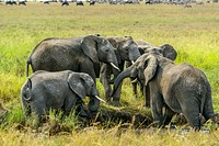 African bush elephant (Loxodonta africana) interacting. Serengeti National Park. Tanzania.