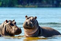 Common hippopotamus or hippo (Hippopotamus amphibius). Victoria Falls. Zambia.
