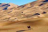 China, Inner Mongolia, Badain Jaran desert, Gobi desert, bactriane camels.