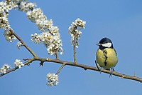 Great tit Parus major on Spring Blackthorn blossom.