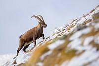 Alpine Ibex (Capra ibex), Male, Gran Paradiso National Park, Alps, Italy, Europe.