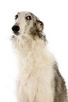 Borzoi or Russian Wolfhound, Female against White Background.