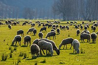 sheep are on grass in the morning