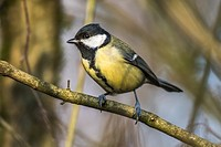 Germany, Saarland, Kirkel, Great tit on a branch.