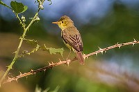 Germany, Saarland, Bexbach, A melodious warbler is sitting on a branch.