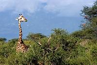 Giraffe in bush Tsavo East National Park Kenya.
