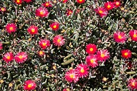 Mesembryanthemum plant with red and yellow flowers, Lanzarote, Canary Islands, Spain