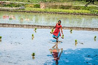Woman plants rice in a rice paddy. Photographed in Chitwan national park, Nepal.