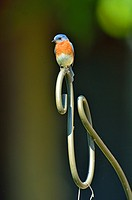 Eastern bluebird (Sialis sialis) Male, Sandstone, Minnesota, USA.