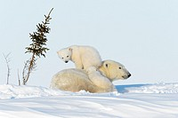 Polar bear mother (Ursus maritimus) with two new born cubs playing, Wapusk National Park, Manitoba, Canada.