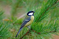 Sweden, Stockholm, Great Tit (Parus major) perching on branch