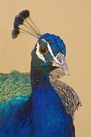 Male Peacock (Pavo cristatus), Male. Seville, Andalusia, Spain.